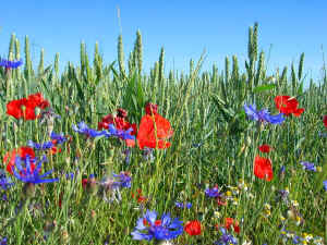 fleurs du camino