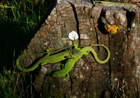 lézards verts dans le Verdon